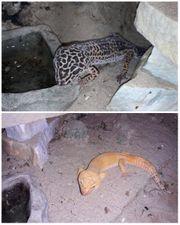 Leopardgeckos reserviert