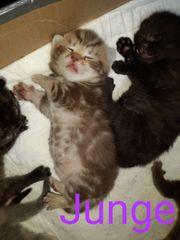 Britisch Kurzhaar Kitten Reinrassig