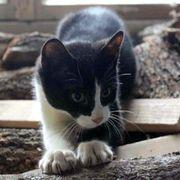 Verspielter Katzenjunge Peyton möchte gern