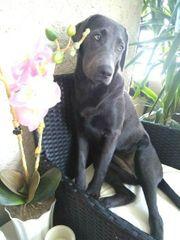 Labrador Welpe sucht neues Zuhause