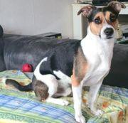 Deckrüde Jack Russel Terrier