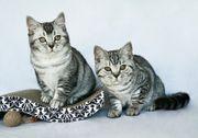 Traumhaft schöne BKH Kätzchen 4