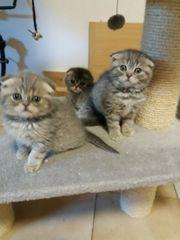 7 BKH - Kitten -- 8Wochen