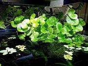 Brasilianischer Wassernabel Wasserpflanzen Versand