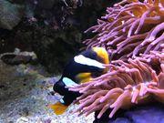 Afrikanischer Anemonenfisch