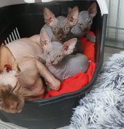 Kanadische Alcantara sphynx kittensuchen zuhause