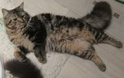 Maine Coon Perser Kater 20