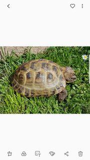 1 0 Vierzehen Landschildkröte Testudo