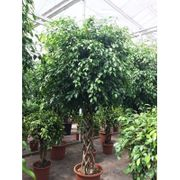 Ficus exotica - - Besondere Stämme art90806