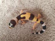 Leopardgecko Geckos Weibchen 2021