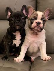 Französische Bulldogge Welpen in Weilburg - Hunde kaufen ...