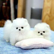Schöne Pomeranian Zwergspitz Welpen zu