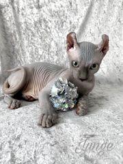 Elf Sphynx Kitten mit Stammbaum