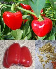 10 Paprikasamen Bonsai Pepper rot