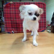 Chihuahua Welpen an echte interessierte