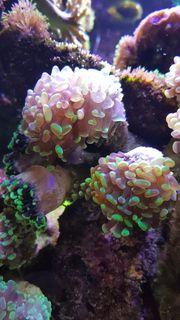 Euphyllia Koralle Meerwasser