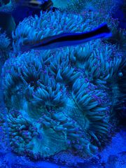 Meerwasser Korallen Ableger Acropora Montipora