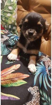Wunderschöne Chihuahua welpen suchen noch