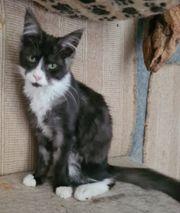 2 wunderschöne Maine Coon Kitten
