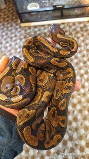 Python Regius 1 0