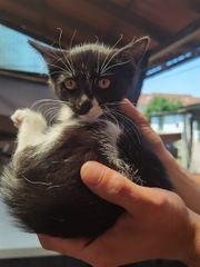 Süße Baby Hauskatzen abzugeben
