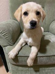 Mädchen Labrador