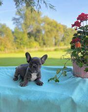 Französische Bulldoggen-Welpen in Blau