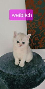 süße reinrassige bkh kitten silver