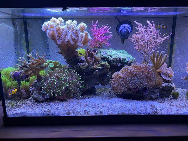 Koralle Ableger Meerwasser Aquarium