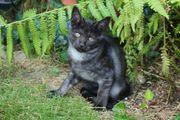 Maine Coon Sibirien Mix Kitten
