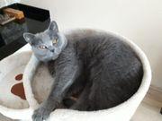 Bkh Kitten mit Stammbaum Wurfankündegung