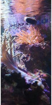 Meerwasseraquarium Anemonen