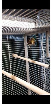 Kanarienvogel Timbrado Hahn