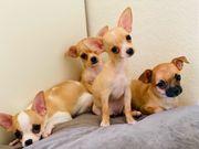 Zauberhaft schöne Chihuahua Welpen