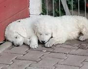 Kuvasz Welpen Ungarische Herdenschutzhunde
