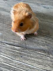 Hamster ca 6 Monate INKL