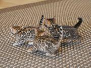 Reinrassiege Bengal Kitten 2 Jungs