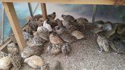 Verkaufe Legewachteln verschiedenen Farben Hennen