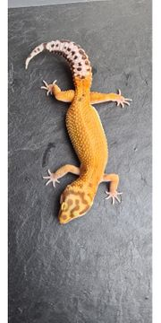 leopardgecko nachzuchten 2020