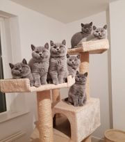 Britisches Blau Kurzhaar Kätzchen