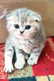 BKH Kitten - Scottish Fold