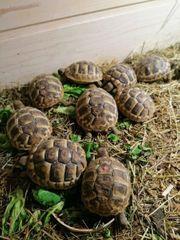 Griechische Landschildkröten aus 2020 abzugeben