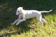 Windhund Barsoi Welpen zu verkaufen