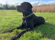 Labrador-Doggen-Mischling Deckrüde
