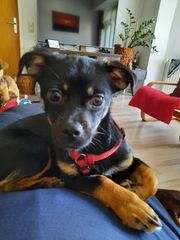 Mischling Chihuahua und Pekinese Alma