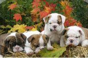 Wunderschöne Englische Bulldoggen welpen