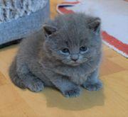 Suesse kleine BKH Kitten suchen