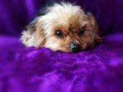 Yorkshire Terrier Mini Hündin