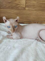 Sphynx Elf Nacktkatze Katze Kater
