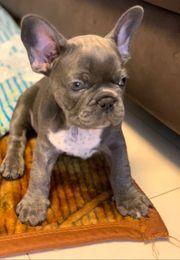 Französische Bulldogge in Blue